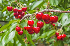 Ягоды вишни на ветви в саде Стоковые Фото