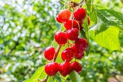 Ягоды вишни на ветви дерева, подсвеченной Стоковое Изображение