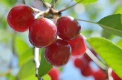 Ягоды вишни на ветви с зеленым цветом выходят в природу Стоковые Фото