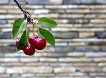Ягоды вишни на дереве Стоковые Изображения