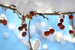 Ягоды в снеге NH Стоковое Изображение RF