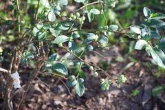 ягоды голубые Стоковые Изображения RF