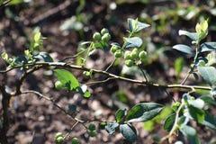 ягоды голубые Стоковая Фотография