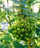 Ягоды дерева рябины Стоковые Фотографии RF