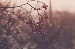 Ягоды зимы после дождя Стоковое Фото