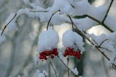 Ягоды зимы Стоковые Фото