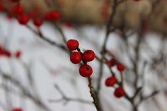 Ягоды зимы Стоковое Изображение RF