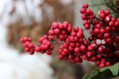 Ягоды зимы Стоковые Фотографии RF