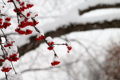 Ягоды золы горы Snowy во время шторма снега Стоковые Изображения