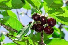 Ягоды зрелой сочной vinous вишни большие Стоковое фото RF