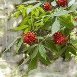 ягоды зрелые Стоковые Фото