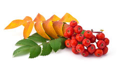 Ягоды и листья рябины стоковое изображение