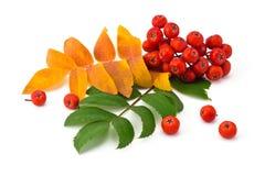 Ягоды и листья рябины стоковая фотография rf