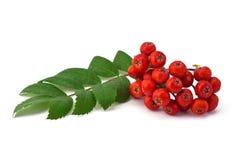 Ягоды и листья рябины стоковое фото