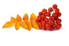 Ягоды и листья рябины стоковое фото rf