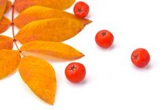 Ягоды и листья рябины стоковые изображения