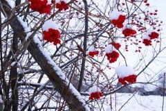 Ягоды калины красные Стоковая Фотография