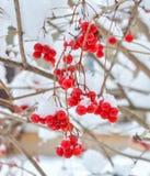 Ягоды калины на ветви с снегом Стоковые Фото