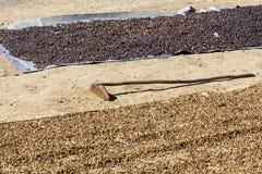 Ягоды кофе засыхания красные Стоковое Изображение RF