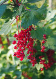 Ягоды красной смородины на ветви Стоковая Фотография