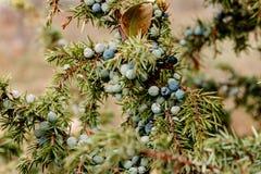 Ягоды можжевельника Стоковая Фотография