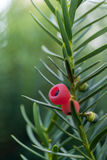 Ягоды можжевельника Juniperus communis brampton Стоковое Изображение RF