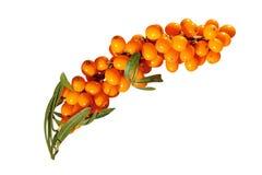 ягоды Мор-крушины Стоковые Фото