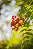 Ягоды на дереве рябины стоковая фотография