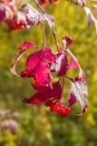 Ягоды осени Стоковые Фотографии RF