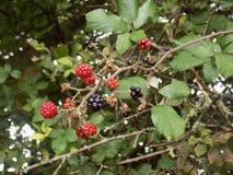 ягоды одичалые стоковая фотография
