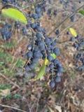 ягоды одичалые стоковые изображения rf