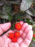 ягоды одичалые стоковое фото rf