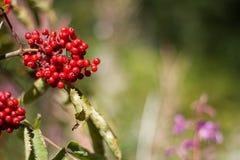 ягоды одичалые Стоковая Фотография RF