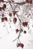 ягоды покрыли красный снежок Стоковые Изображения RF