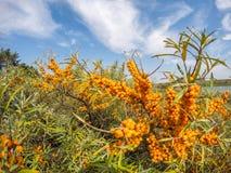 ягоды померанцовые Стоковая Фотография