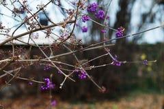 ягоды пурпуровые Стоковое фото RF