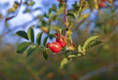 ягоды плода шиповника растя на ветви с зелеными листьями Стоковая Фотография