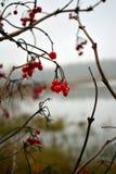 Ягоды рябины с дождем падают конец-вверх в туманном дне осени стоковые изображения rf