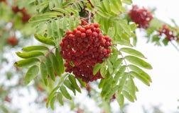 Ягоды рябины, ягода золы стоковое фото