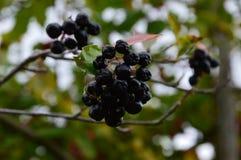Ягоды сада Стоковое фото RF