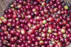ягоды фасолей закрывают красный цвет кофе вверх Стоковое Фото