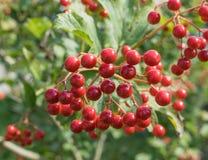 ягоды arrowwood в сияющей погоде Стоковая Фотография RF