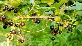Ягоды Blackcurrant на ветви Стоковое Изображение