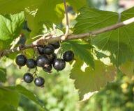 Ягоды blackcurrants Стоковая Фотография