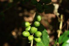 Ягоды Coffe на дереве Стоковое Изображение