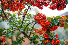 Ягоды Firethorn Pyracantha Rowanberry оранжевые с зелеными листьями Стоковые Изображения