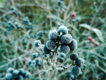 Ягоды Frost Стоковая Фотография