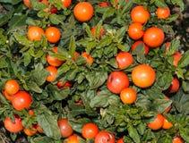 Ягоды pseudocapsicum Solanum Стоковые Изображения
