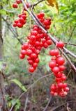 Ягоды Schisandra chinensis Стоковая Фотография RF