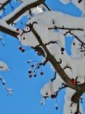 Ягоды Snowy Стоковые Изображения RF